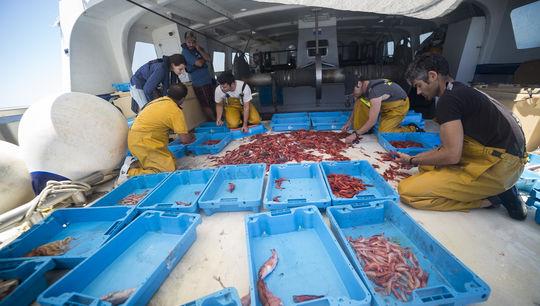 pescadors-classifiquen-gambes-segons-mida_1618048327_32913044_540x306